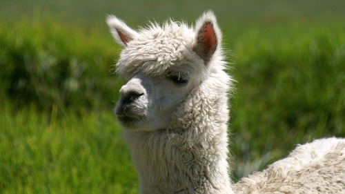 Alpaca's are not easily led!